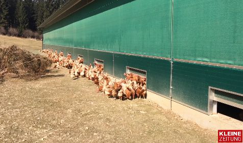 Stallpflicht-Ende: Hühner freuen sich über die Freiheit