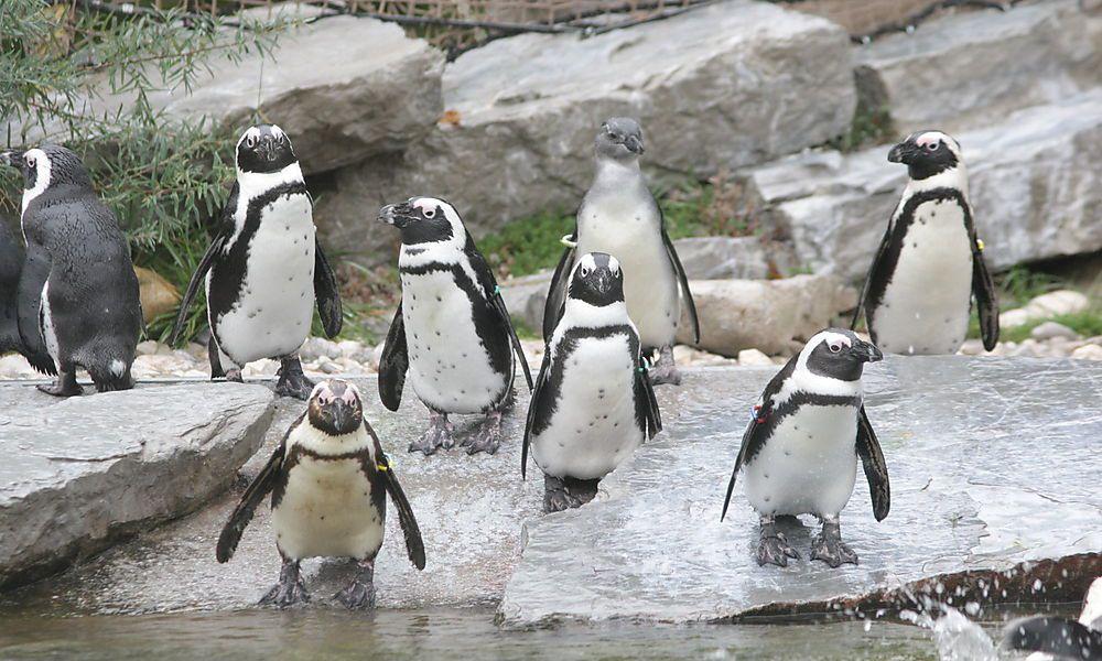 Verschwundener Pinguin wieder im Zoo