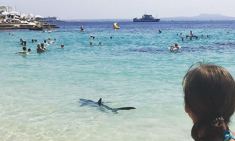 Ein Hai eingefangen und eingeschläfert