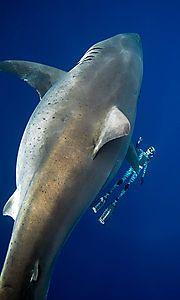 weißer hai kroatien