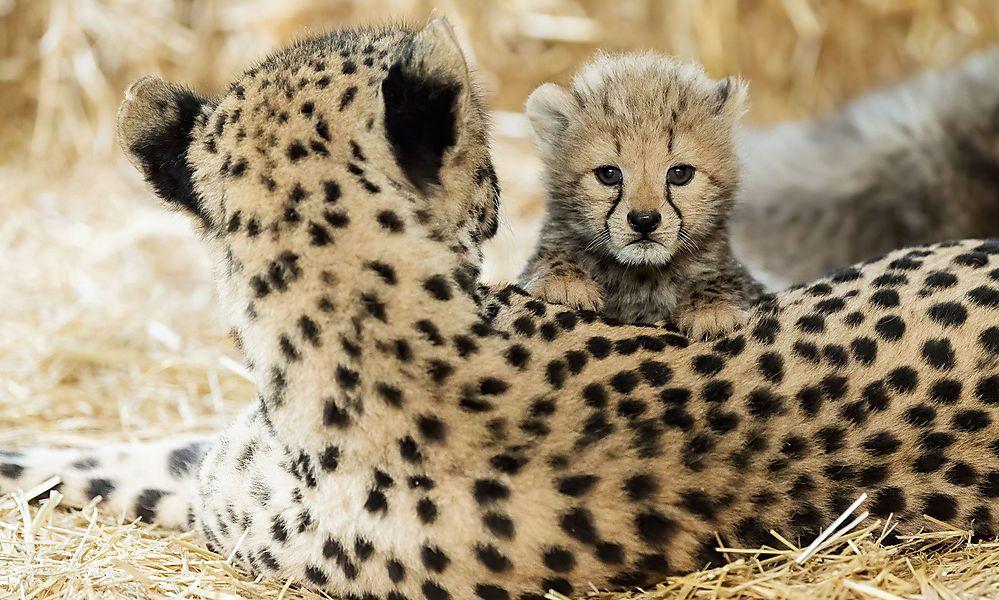 Gleich vierfacher Nachwuchs bei den Geparden