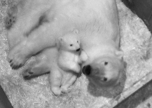 Drei Monate alt und schon flott unterwegs: Das Eisbären-Jungtier hat schon die Neugierde gepackt und erkundet mit seiner Mutter die Innenräume der Eisbärenwel