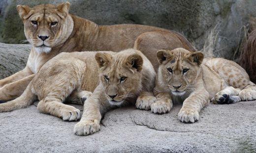 Drama in US-Zoo: Löwin beißt Vater ihrer Jungen tot
