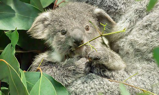 Jetzt ist klar: Das Koala-Jungtier ist ein Mädchen