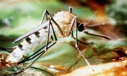 Die Tigermücke zählt zu den Virus-Überträgern