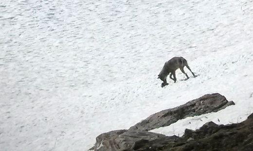 TIROL: WOLFSICHTUNG IM NATIONALPARK HOHE TAUERN