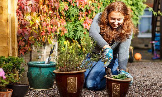 Die Pflanzen sollten im Herbst und Winter auf keinen Fall gedüngt werden, denn spät im Jahr entwickelte Triebe und Wurzeln können nicht mehr ausreichend ausreifen und erfrieren deshalb rasch