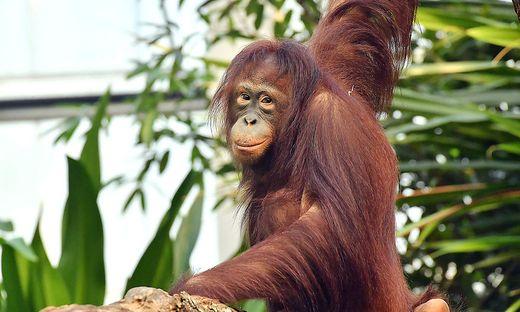 Die Fotos zeigen Surya in ihrem ehemaligen Zuhause, im Zoo Rostock, vor ihrer Abreise nach Wien