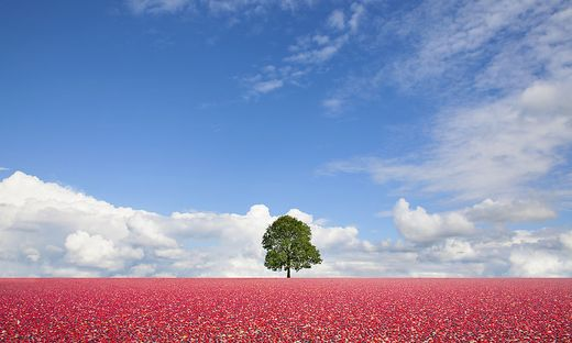 Single tree standing in field of cranberries