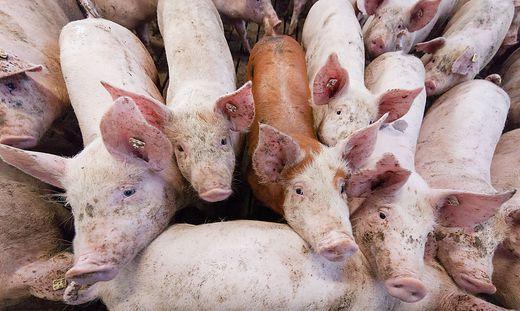 Der traurige Umgang mit Nutztieren: ein Thema des Volksbegehrens