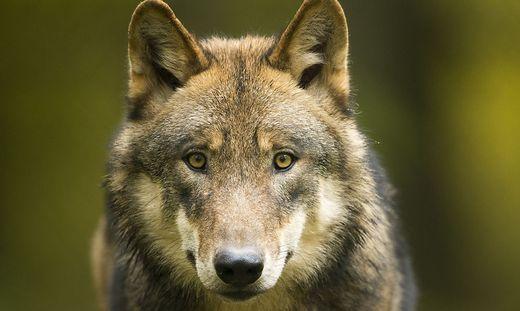 Der Wolf (Symbolbild) sorgt weiter für Gesprächsstoff