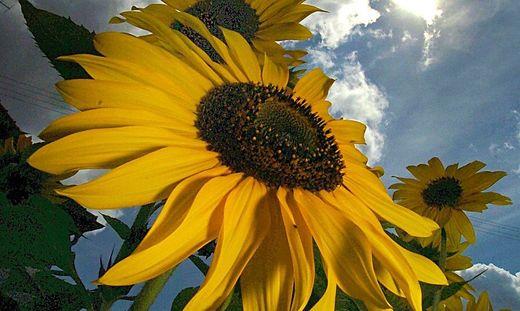 Eine Sonnenblume unter Gewitterwolken
