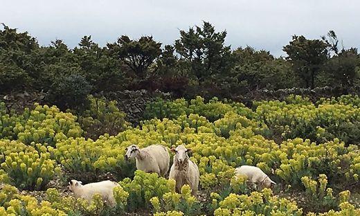 Cres Wandern Schafe