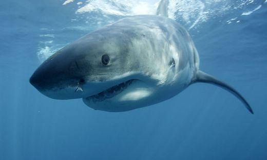 Australier prügelt Weißen Hai in die Flucht und rettet seine Frau