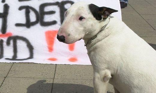 Behörde nahm Halterin in Graz ihre zwei Pitbull Terrier ab.