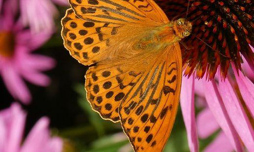Bluehendes Oesterreich und GLOBAL 20000 praesentieren Ergebnisse der Schmetterlingszaehlung in heimischen Gaerten