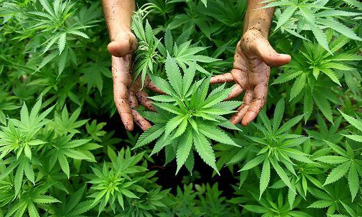 Polizei fand bei Rumänen frische Cannabispflanzen