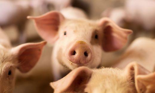 Schweine ohne gentechnikfreie Kost sind selten