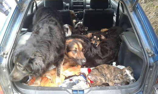Die zehn Hunde waren ohne Wasser und Futter in dem Kleinwagen eingesperrt