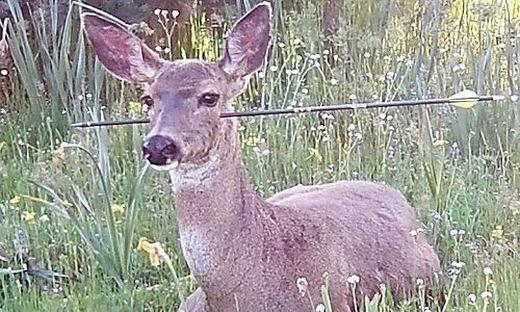 Tier hat überlebtReh mit Pfeil in den Kopf geschossen: Polizei sucht Schützen