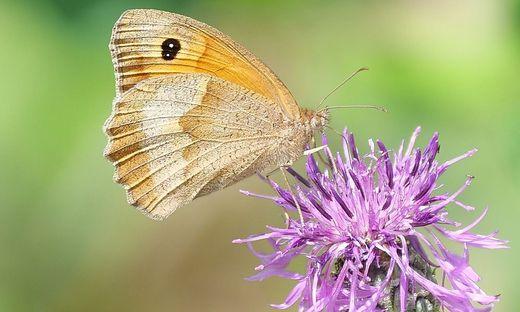 Bluehendes Oesterreich und GLOBAL 2000 praesentieren die haeufigsten Schmetterlinge in Oesterreichs Gaerten 2021