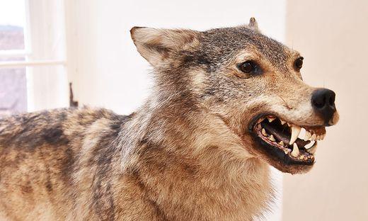 Die Ausstellung 'Der Wolf' ist - mit Unterbrechung - bis Oktober 2017 in Stainz zu sehen