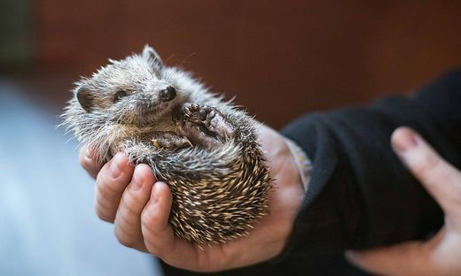 Igel Wildtiere in Not