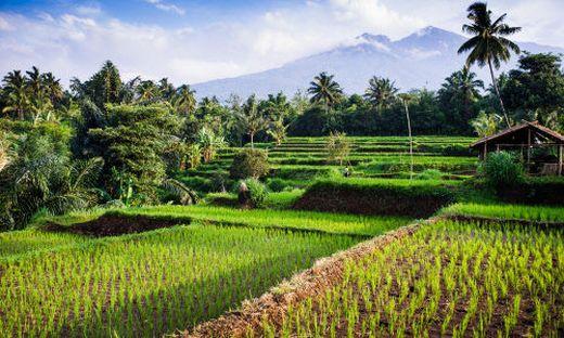 Reisfelder, Palmen und im Hintergrund der Mount Rinjani
