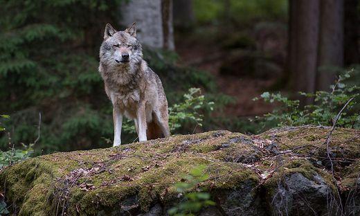 Bereits 2022 könnte es in Kärnten ein Wolfsrudel geben, schätzen Experten (Symbolfoto)