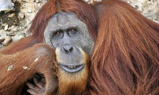 Der Sumatra-Orang-Utan steht auf der Liste der bedrohten Tierarten
