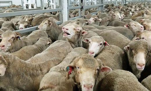 Ein Bild von Schafen auf einem Seeweg-Transport, das Animals International zugespielt wurde