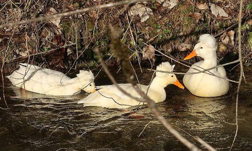 Enten haben ein dichtes Gefieder. So kommen sie auch in freier Wildbahn gut durch den Winter