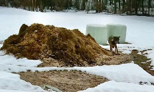 Dieser Wolf wurde bereits 13 Mal in der Nähe von Siedlungen im Gailtal gesehen