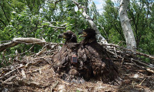 Zwei weibliche und zwei männlicheJungadlerwurden im Frühling von Experten mit Sendern ausgestattet