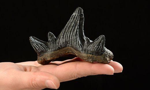 Die gefundenen Zähne gehören zu einer noch unbekannten Hai-Art, die Forscher auf den Namen Cladodus gailensis tauften