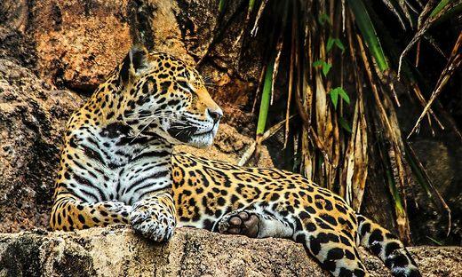 Der Jaguar lebt in Brasilien