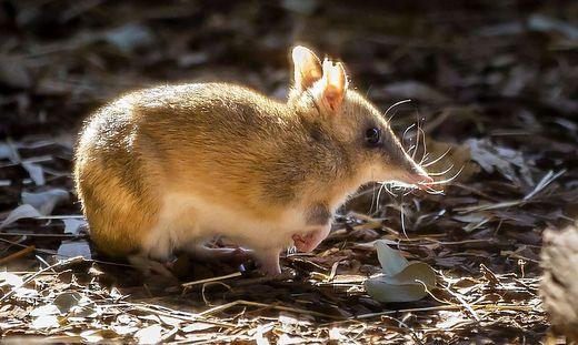 Tasmanischer Langnasenbeutler