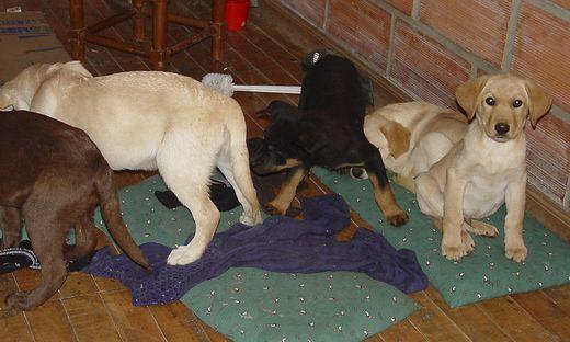 Um Drogen zu schmuggeln Tierarzt pflanzt Hundewelpen Heroinpäckchen in Bäuche