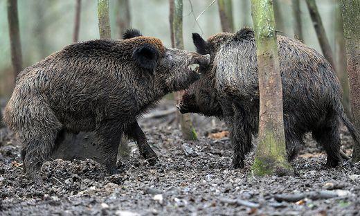 Wildschweine in Bayern