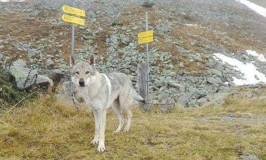 """""""Malta-Wolf"""" oder """"Malta-Wolfshund"""" – jedenfalls ein beeindruckendes Tier, dass im Bereich der Gießener Hütten fotografiert wurde"""