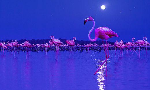 Eine Flamingo-Kolonie im Mondschein