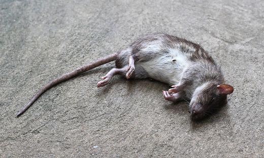 """Als Reaktion auf die jüngsten Pest-Fälle haben die Behörden nun mit einer """"Ratten- und Flohvernichtungsaktion"""" begonnen"""