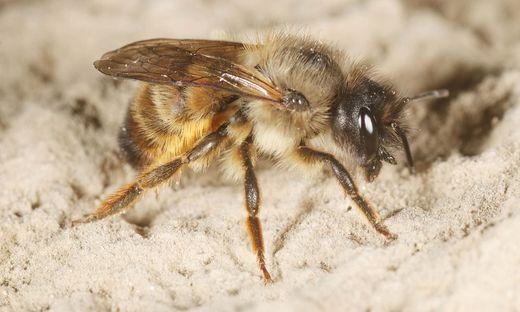 Rote Mauerbienen: Frühlingsboten sind wieder unterwegs