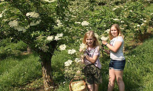 Lena und Hannah helfen bei der Ernte der Holunderblüten auf dem Hof der Familie