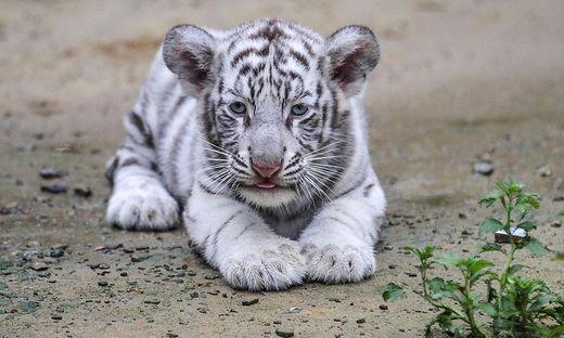 Japan Weißer Tiger Tötete Tierpfleger In Zoo Kleinezeitungat