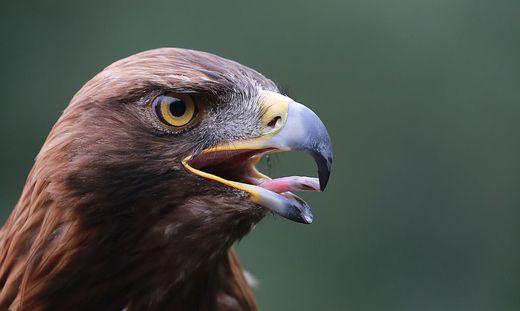 Geschützte Tiere wie der Steinadler sind in der Wildniszone zuhause
