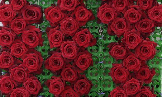 Tonnen von Rosen werden jedes Jahr importiert