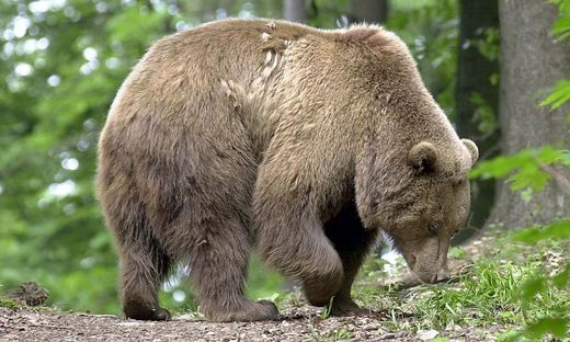 Bär greift in Südtirol zwei Wanderer an | BR24