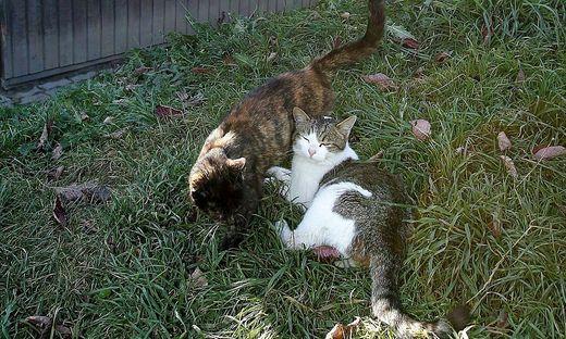 Auch sogenannte Bauernkatzen müssen kastriert werden