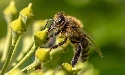 Efeublüten liefern auch im Herbst noch Nahrung für Bienen.